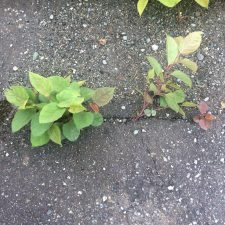 Japanese Knotweed (Reynoutria japonica) can grow through concrete
