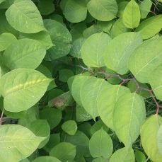 Japanese knotweed (F. japonica) leaves