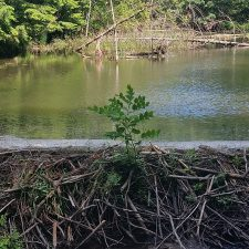 Japanese Knotweed (Reynoutria japonica) growing through a beaver damn