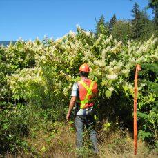 Japanese Knotweed (Fallopia Japonica) in flower with Field Crew member