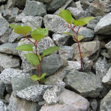 Japanese Knotweed (Reynoutria japonica) growing through debris