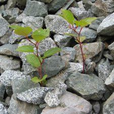 Japanese Knotweed (Reynoutria japonica) growing through debris