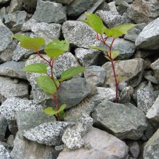 Japanese Knotweed (F. japonica) growing through debris