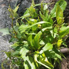 Japanese Knotweed (Reynoutria japonica) stunted growth