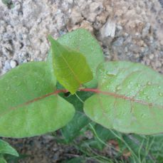 Young Japanese Knotweed (Fallopia japonica) shoot