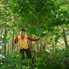 Japanese Knotweed (Reynoutria japonica) with crew member
