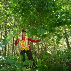 Japanese Knotweed (Fallopia japonica) with crew member