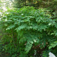 Japanese Knotweed (Reynoutria japonica) shrub
