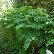 Japanese Knotweed (Fallopia japonica) shrub