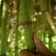 Japanese knotweed (Reynoutria japonica) stem