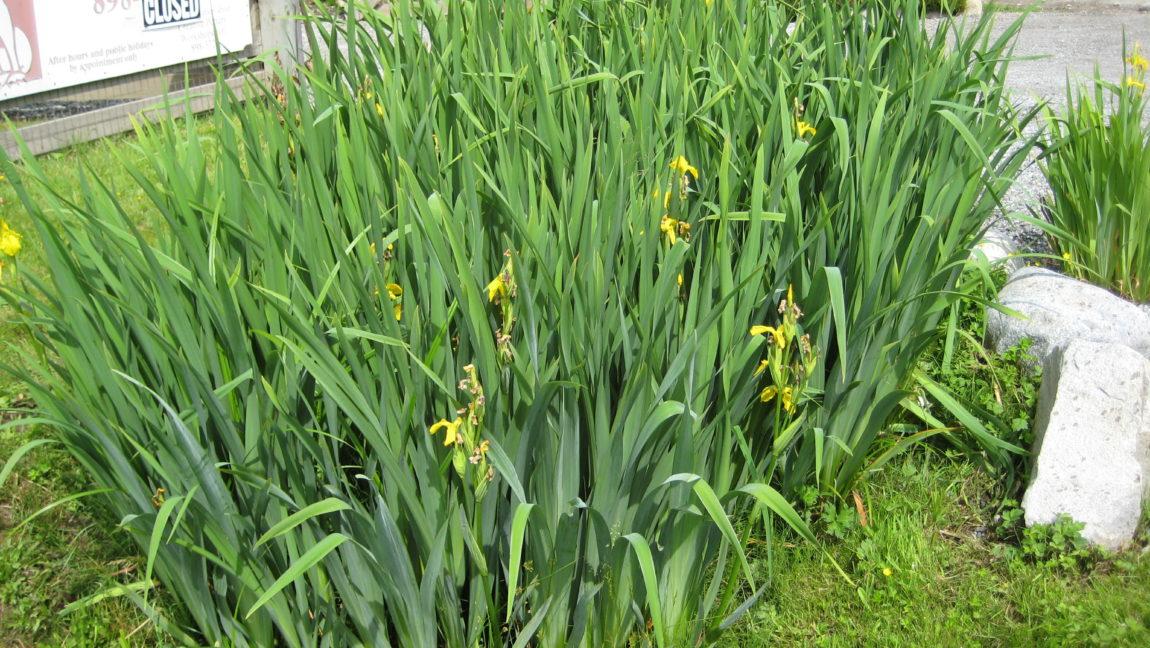 3.-Yellow-flag-iris-patch.jpg