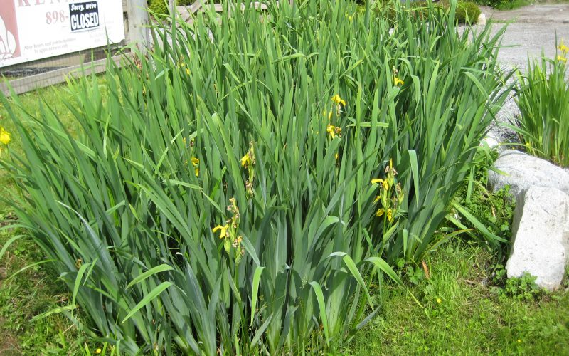 3. Yellow flag iris patch iris pseudacorus