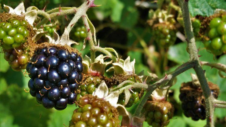 Himalayan-Blackberry-B.-Johnson-3.jpg