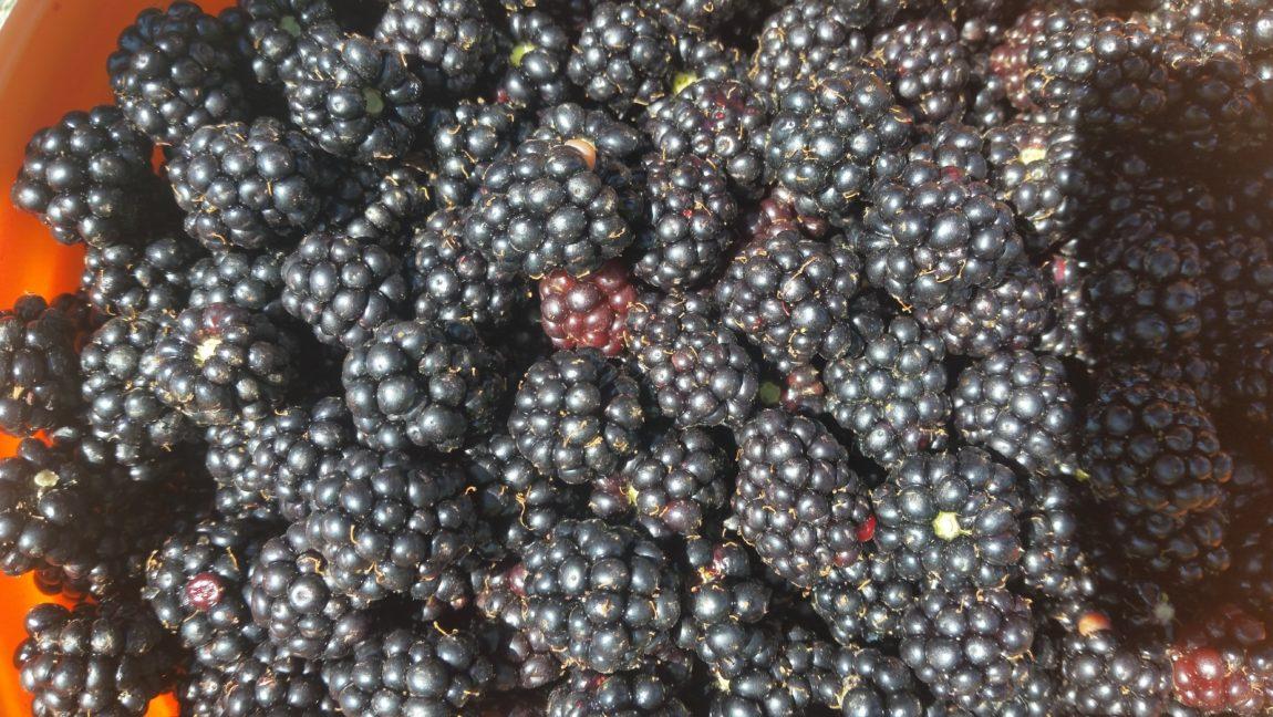 Himalayan-Blackberry-B.-Johnson-4-1.jpg