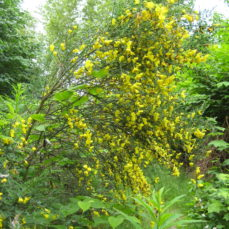 Scotch Broom (SSISC)