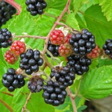 Himalayan blackberry berries (Rubus armeniacus)