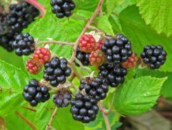 Himalayan Blackberry