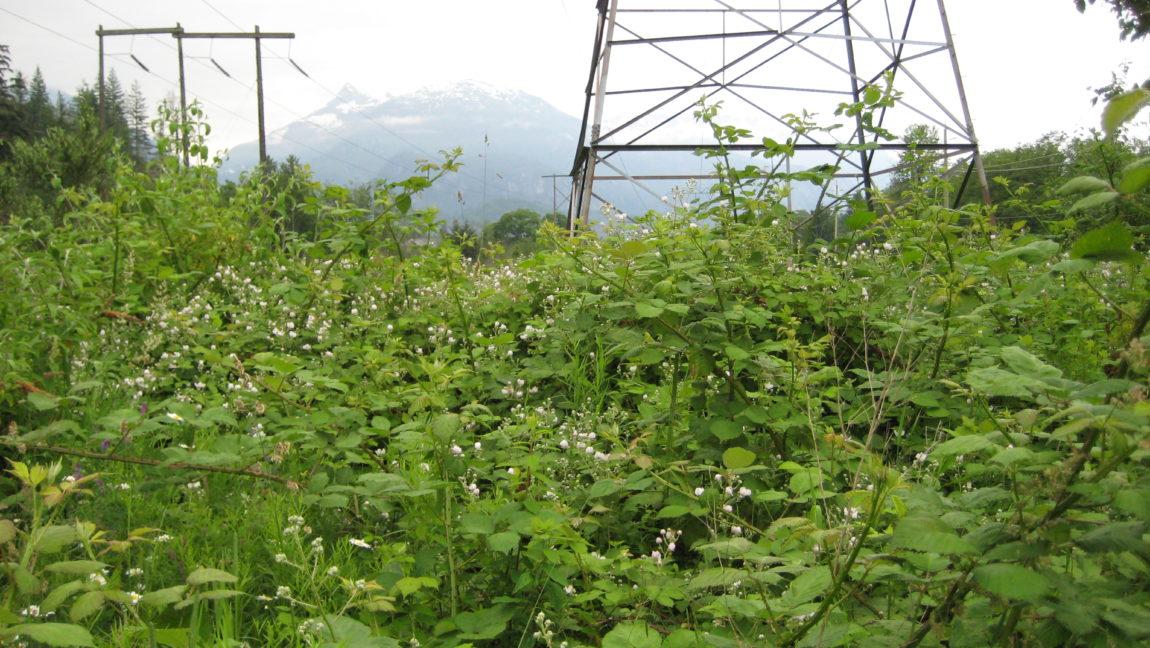 Rubus-discolor-Himalayan-Blackberry-1.jpg