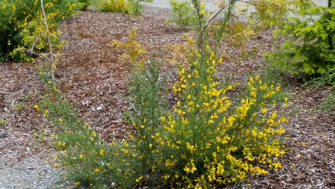 WBP1-Function-05-Cytisus-scoparius-Function-old-Hwy-99-planting-bed-2013-06-21-before-treatment-P1020589-from-LR-for-SSISC.jpg