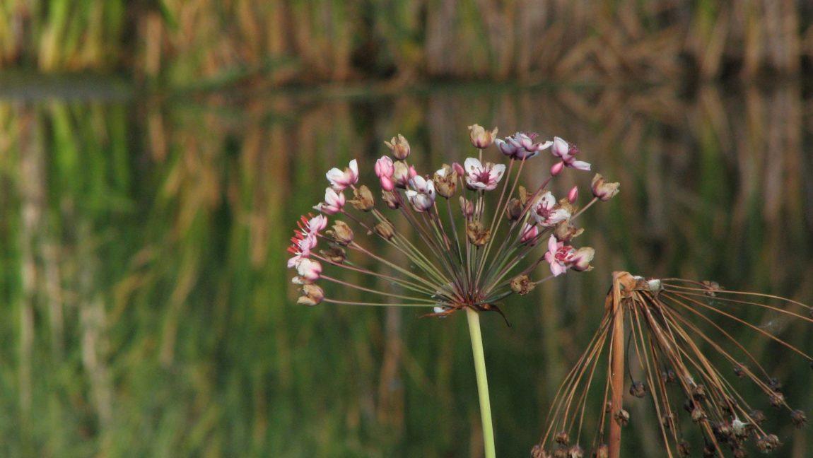 WBP8-NickNorthGC-08-Butomus-umbellatus-Nicklaus-North-1st-tee-pond-2006-08-28-2009-for-SSISC.jpg
