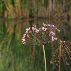 Flowering Rush, (Butomus umbellatus) Photo: Bob Brett