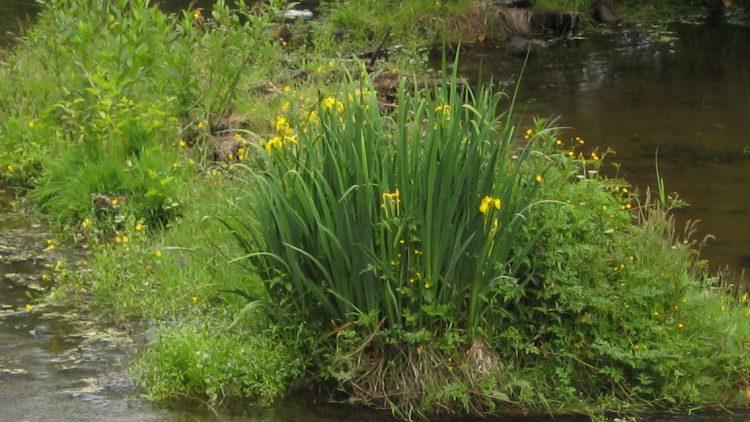 Yellow-flag-iris-by-pump-station-Squamish.jpg
