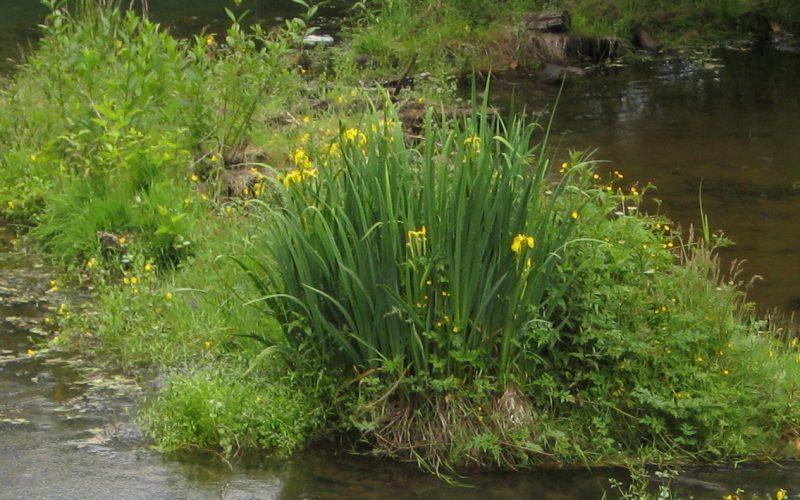 Yellow flag iris iris pseudacorus by pump station Squamish