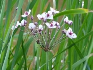 Flowering Rush (Bob Brett)