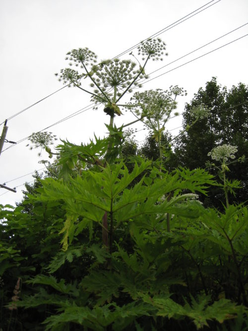 1. Giant hogweed from below