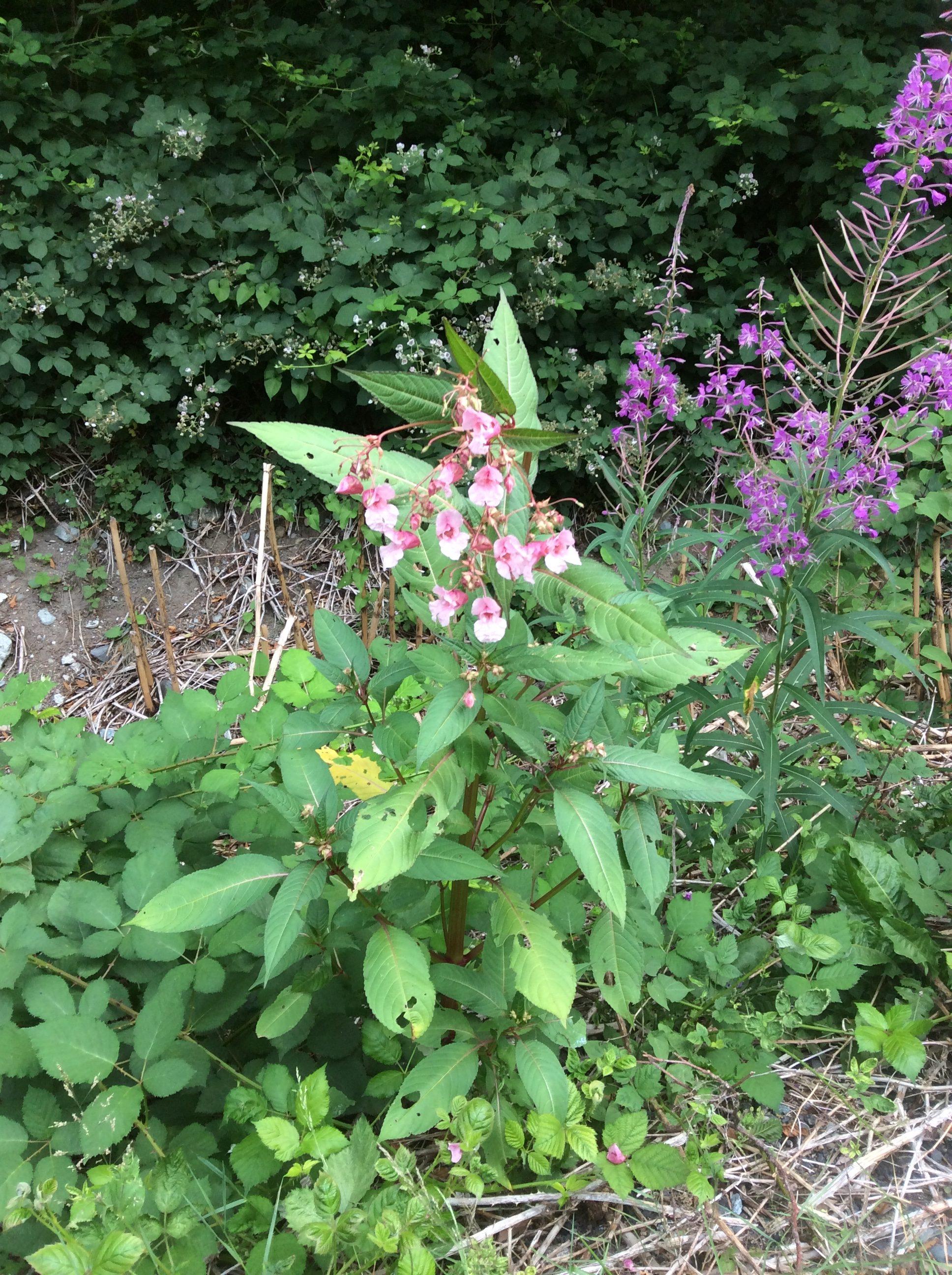 Himilayan Balsam Impatiens glandulifera