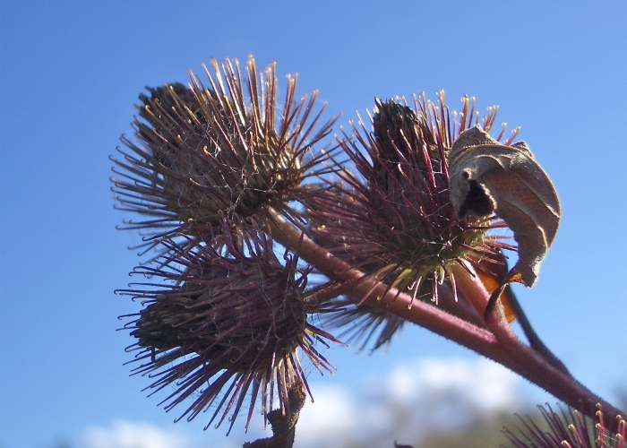4. Burdock burrs (Eileen Brown – EFlora)