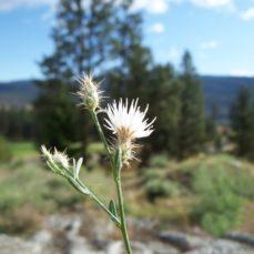 Diffuse Knapweed (Centaurea diffusa)