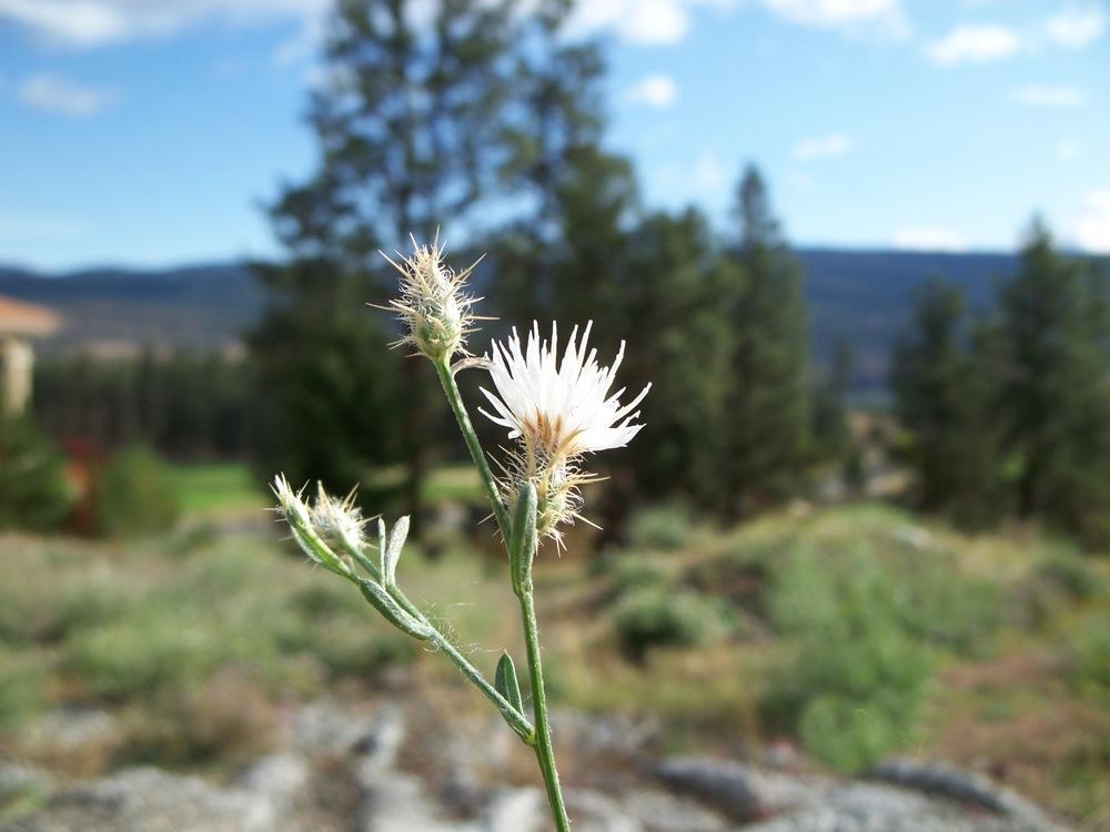Centaurea diffusa 4