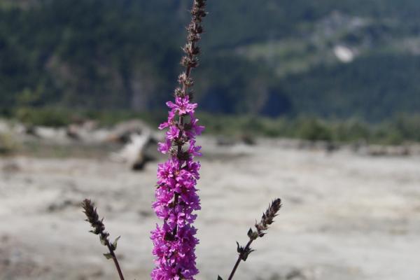Purple Loosestrife Squamish Estuary B Brett June 2015