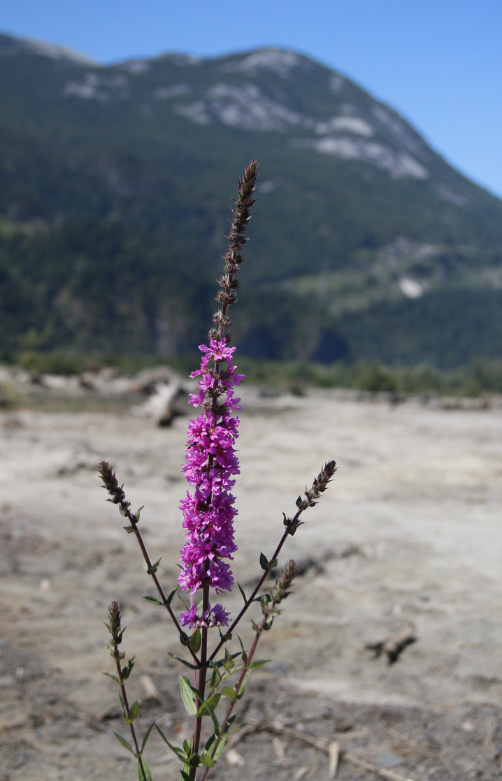 Purple Loosestrife Squamish Estuary B Brett June 2015