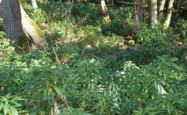 Spurge Laurel Undergrowth