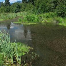 Curled pondweed reduces water quality (B. Brett)