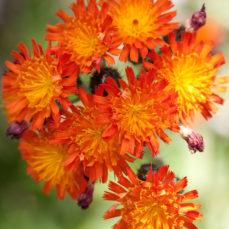 orange hawkweed Hieracium aurantiacum