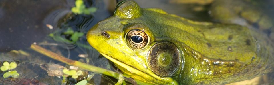 Bullfrog (J. Swiatek)