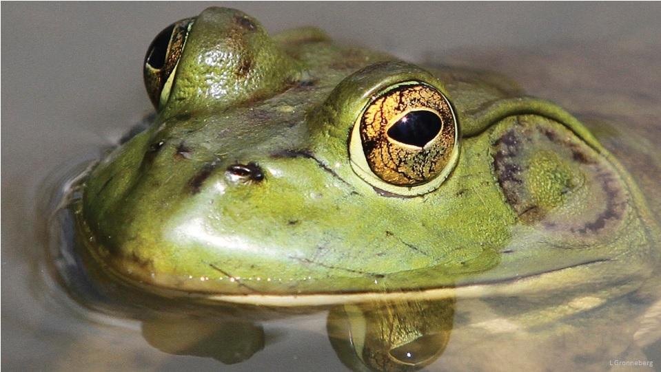 Bullfrog (L. Gronneberg)