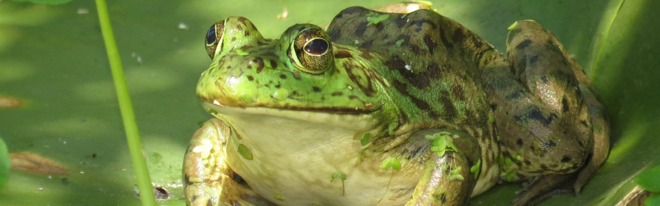 Bullfrog (S. Dymchenko)