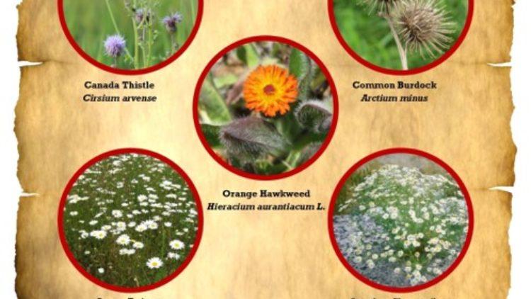 Pemberton's 5 Worst Weeds