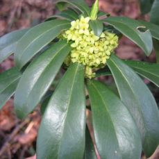 Spurge laurel (D. Hanna)