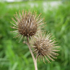 Common Burdock (SSISC)