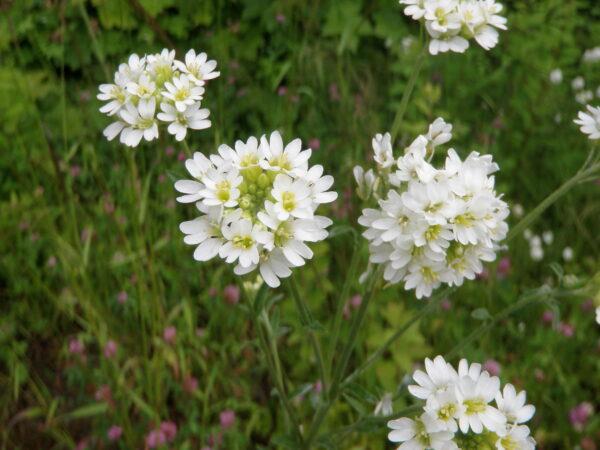 berteroa_incana_hoary_alyssum_flowers_ssisc-600x450