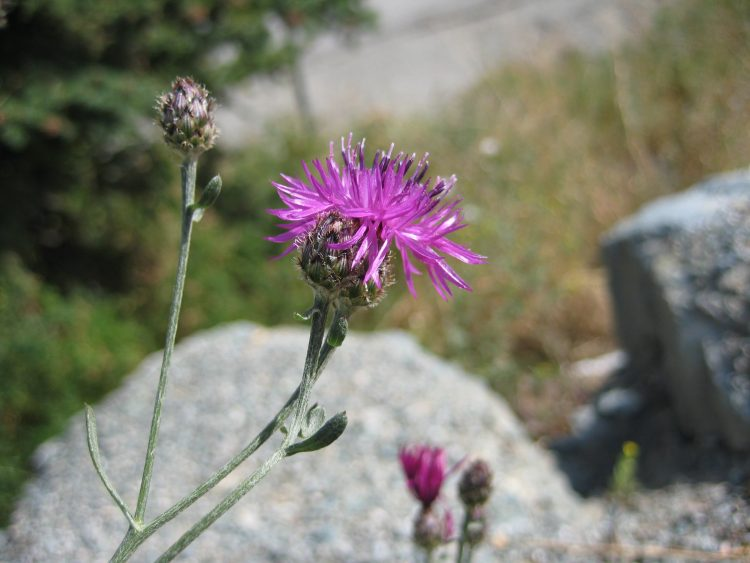 Concerns Over Knapweed Spraying in Whistler Addressed in Pique Newsmagazine