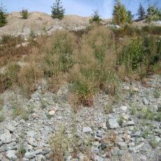 Centaurea biebersteinii (Spotted knapweed)