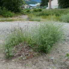 Centaurea diffusa (Diffuse knapweed)