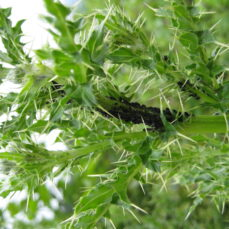Cirsium vulgare (Bull thistle) foliage