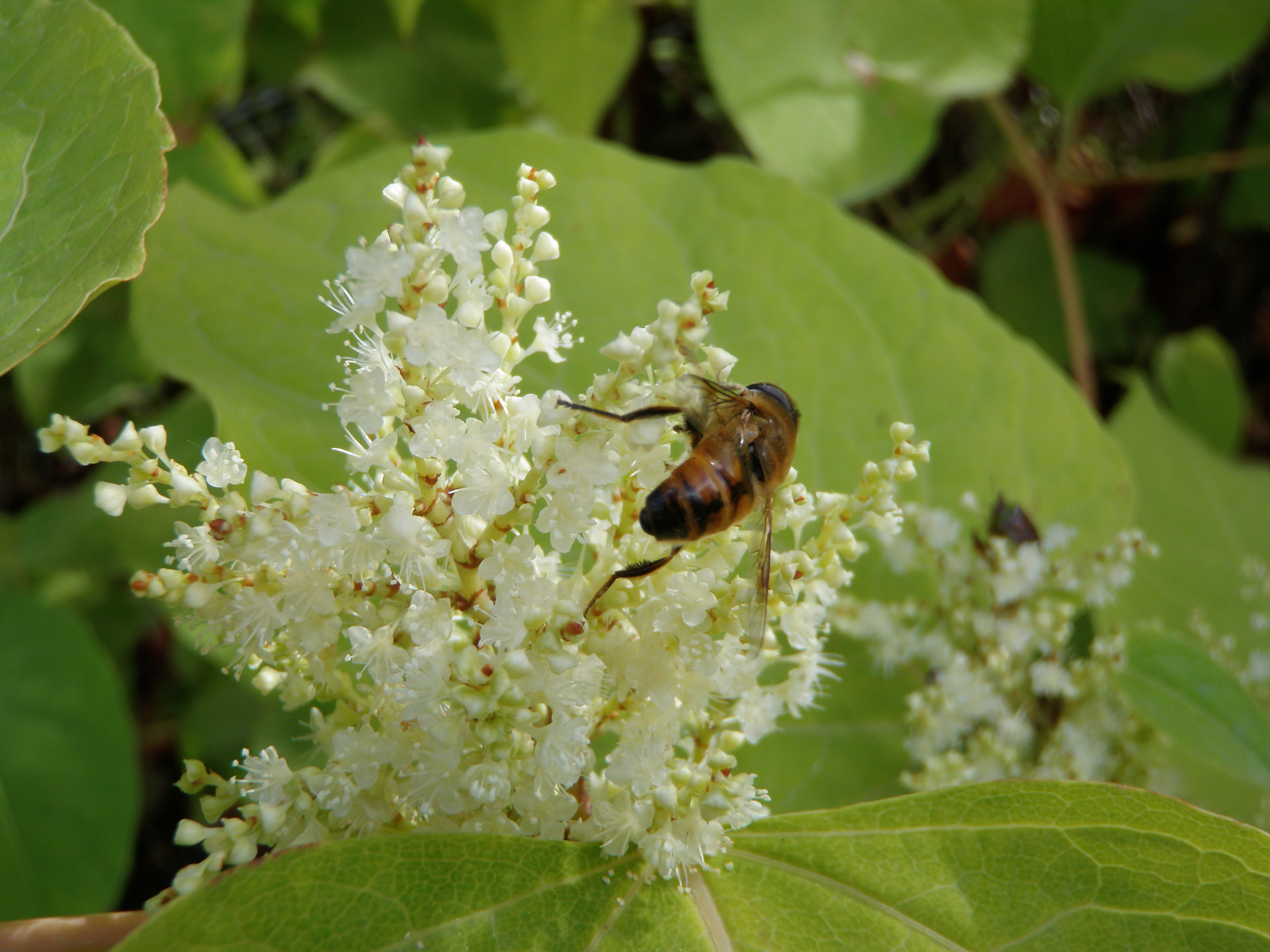 Fallopia japonica (Japanese knotweed) ssisc